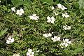 Rosa arvensis (Liege-Rose) IMG 24814.JPG