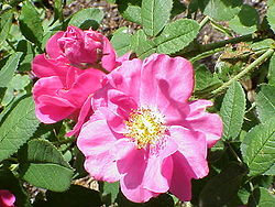 Rosa gallica var. officinalis