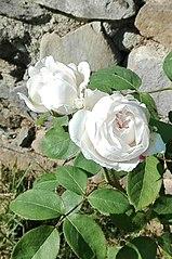 Rosa inglese.jpg