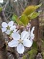 Rosales - Prunus cerasus - 11.jpg