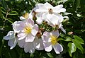 Rosarium Baden Rosa 'Leuchtstern' Kiese 1899 01.jpg