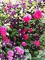 Rose,Tess of the d'Urbervilles,バラ,テス オブ ザ ダーバーヴィルズ, (12856159405).jpg