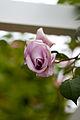 Rose, Blue moon Cl.jpg