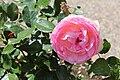"Rose ""Königin von Dänemark"".jpg"