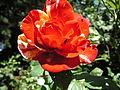 Rose Camille Pissaro.jpg
