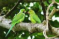Rose ringed Parakeet (ଶୁଆ) 003.jpg