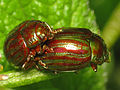 Rosemary Beetles (Chrysolina americana) (17245837202).jpg