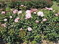 Roses in The Arno, Oxton - IMG 0902.JPG