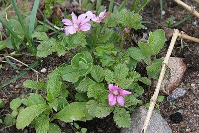 Rubus arcticus Mesimarja IM8675 C.JPG