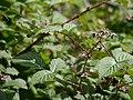 Rubus pedunculosus (7814389372).jpg