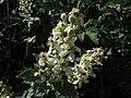 Rubus ulmifolius flowering Esbarzer080607.JPG