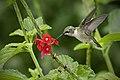 Ruby-Throated hummingbird on red flower.jpg