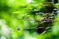 Ruby-throated hummingbird (19510900109).jpg