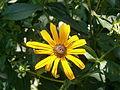 Rudbeckia fulgida02.jpg