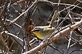 Rufous-capped Warbler Hunter Canyon Sierra Vista AZ 2018-02-06 11-32-00 (28353249659).jpg