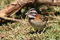 Rufous-collared sparrow.JPG