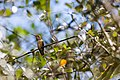 Rufous hummingbird (33148123801).jpg