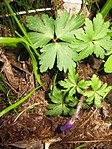 Ruhland, Grenzstr. 3, Balkan-Windröschen im Garten, Blätter und öffnende Blüten, Frühling, 02.jpg