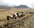 Rum Ponies - geograph.org.uk - 151595.jpg