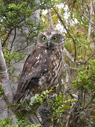 Morepork - Morepork in New Zealand