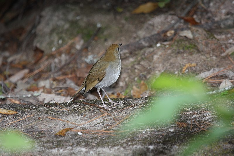 File:Russet Nightingale-thrush.jpg
