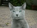 Russian Blue cat.jpg
