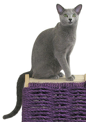 Russian Blue - 1 year old Russian Blue male (American style)