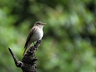 Rusty-tailed Flycatcher I IMG 7389.jpg