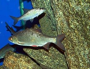 Gardon (poisson) — Wikipédia