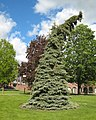 SUNY Geneseo Seuss Spruce.jpg