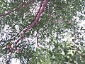 SZ 深圳 Shenzhen 羅湖 Luohu 寶安南路 Bao'An South Road tree Terminalia mantaly August 2018 SSG 03.jpg