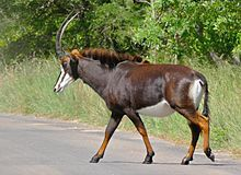 Sable (Hippotragus niger) female crossing the road (16635641913), crop.jpg