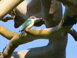 File:Sacred Kingfisher rushck.ogv