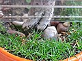 Sagina in bonsai 3.jpg