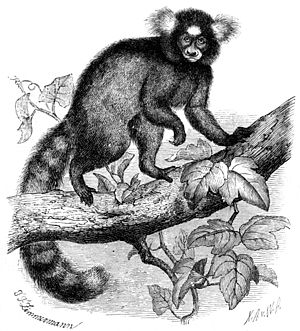 Common marmoset - Drawing of a marmoset