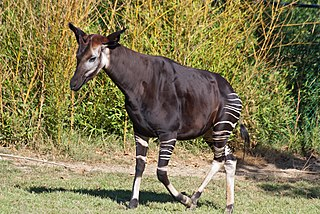 Okapi Species of mammal