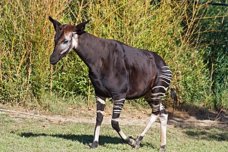 Okapi - Male in ZooParc de Beauval