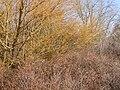 Salix fragilis (5026960237).jpg