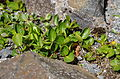 Salix herbacea ÖBG 2012-05-17 02.jpg