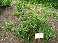 Salix phylicifolia - Berlin Botanical Garden - IMG 8474.JPG
