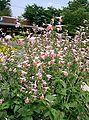 Salvia coccinea1.jpg