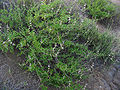 Salvia mellifera.jpg