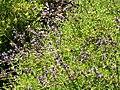 Salvia munzii 1.jpg