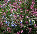 Salvia uliginosa ^ Diascia personata - Flickr - peganum.jpg
