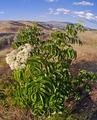 Sambucus cerulea in the Wenatchee foothills, Chelan County Washington.png