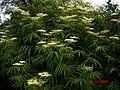 Sambucus formosana - Flickr - peganum (1).jpg