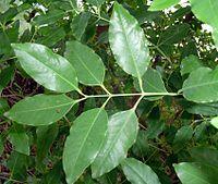 Sandal leaf