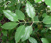 Sandalwood - Wikipedia