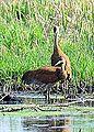 Sandhill Cranes (7201251026).jpg