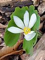 Sanguinaria canadensis 1306.jpg